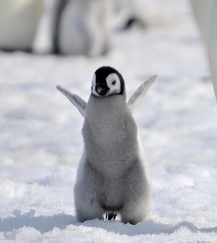 Baby penguin art - photo#22