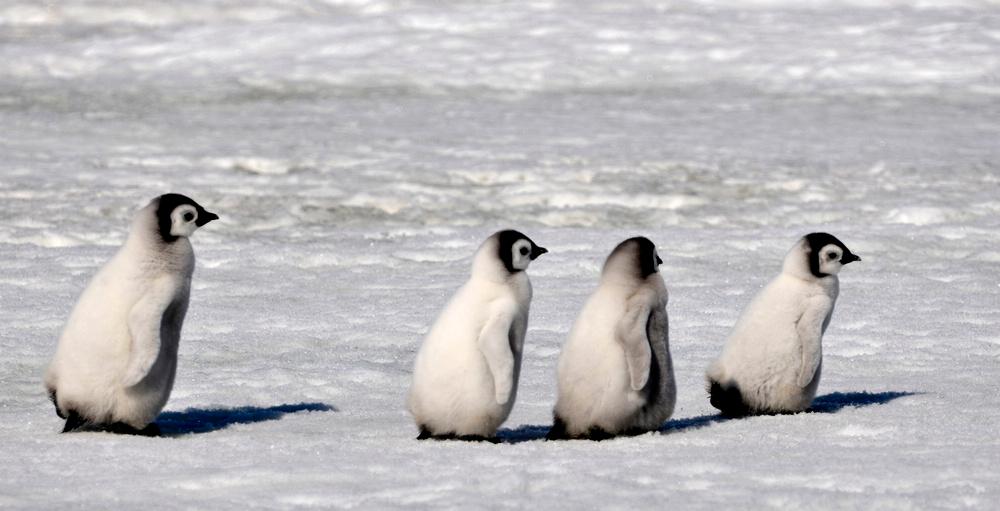 Emperor Penguins Huddle