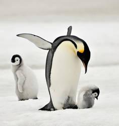Emperor penguin by laogephoto