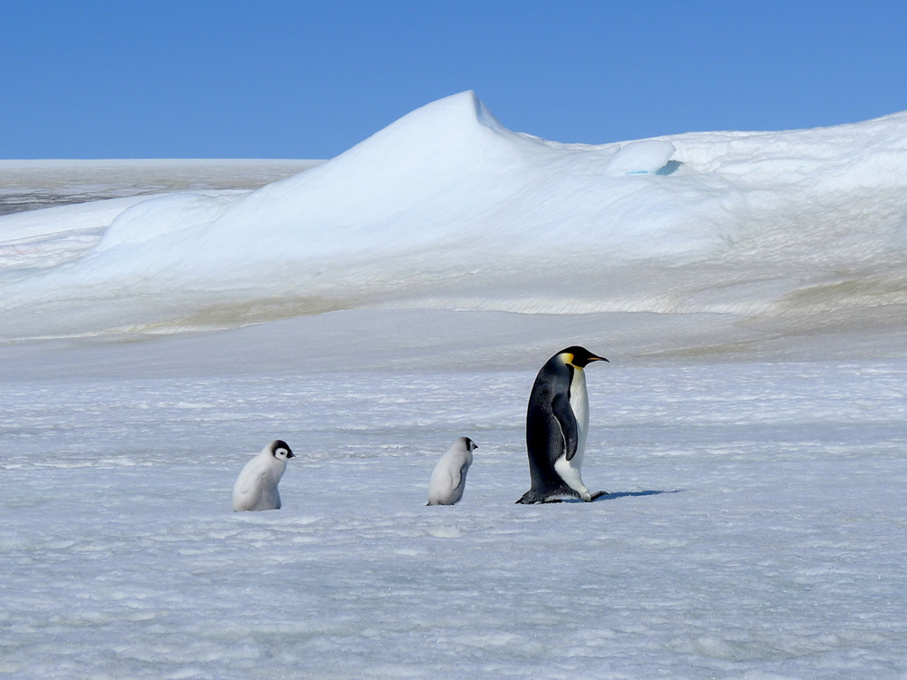 Let's go.  Emperor penguin by laogephoto