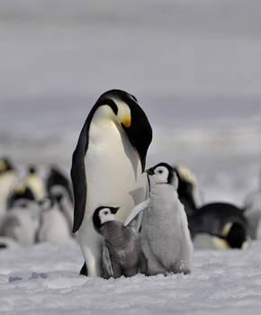 Penguins, Antarctic