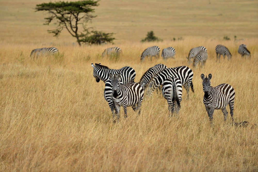 Zebra, Tanzania by laogephoto