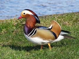 duck by AnNacht
