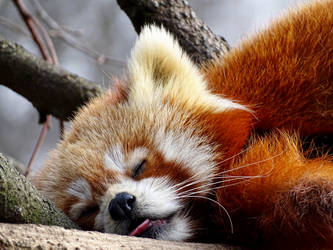 red panda by AnNacht