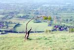 Windswept sapling