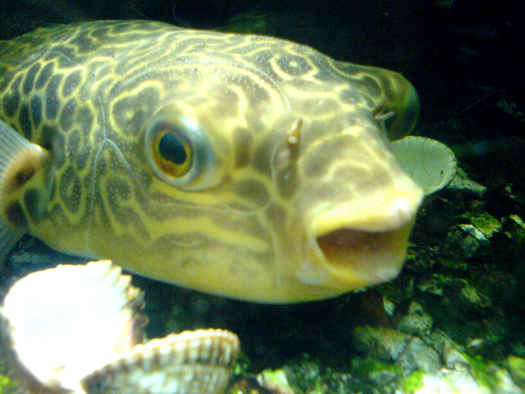Giant puffer fish by paulfeakins on deviantart for Giant puffer fish