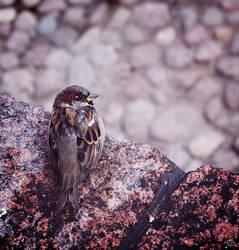 Little Sparrow by teyasaveleva
