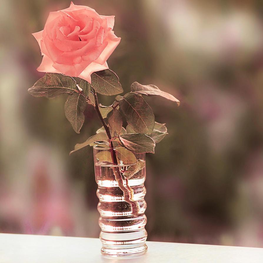 گل رز سرخ قرمز شبنم روی کلبرک افتاد / صورتی در لیوان آب / نگاهم کن. . . .میشنوم...