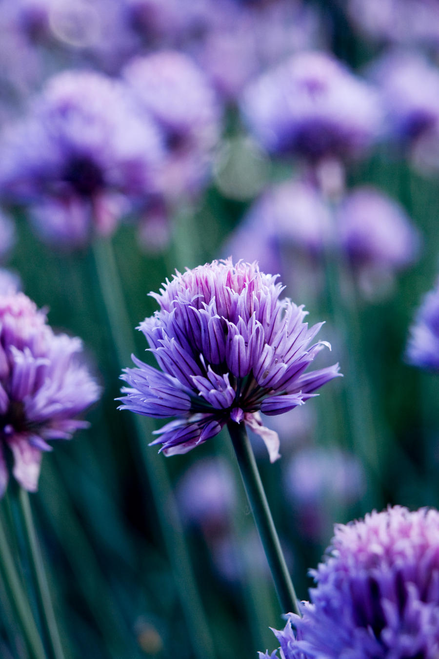 pretty chives by riskonelook