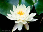 White Waterlily 3