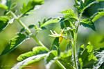 Tomato Blossom 1