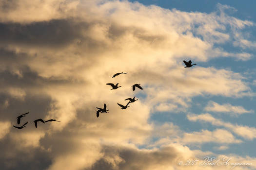 Morning Geese