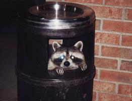 raccoon by jfbombard