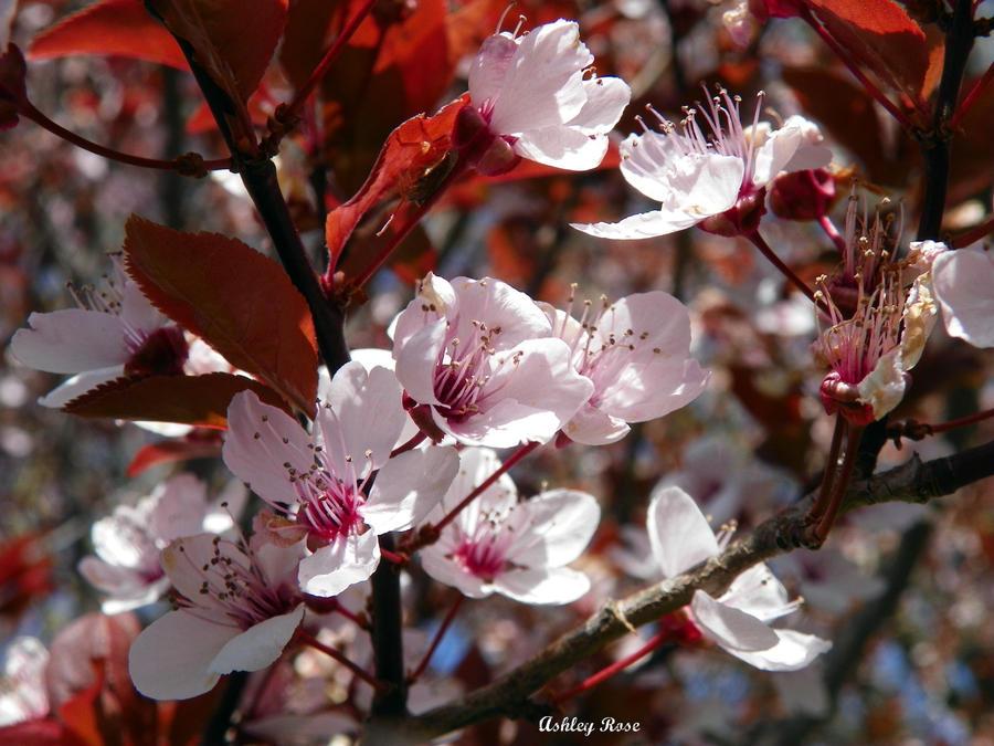 Cherry blossom by ajackson310