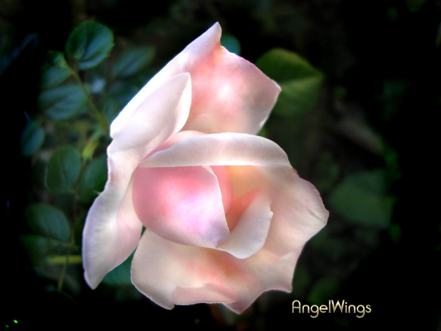 Beautiful rose by AngelWingsdesign