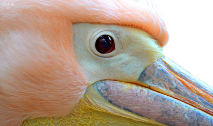 0061 - Pelican by Asralores-photos