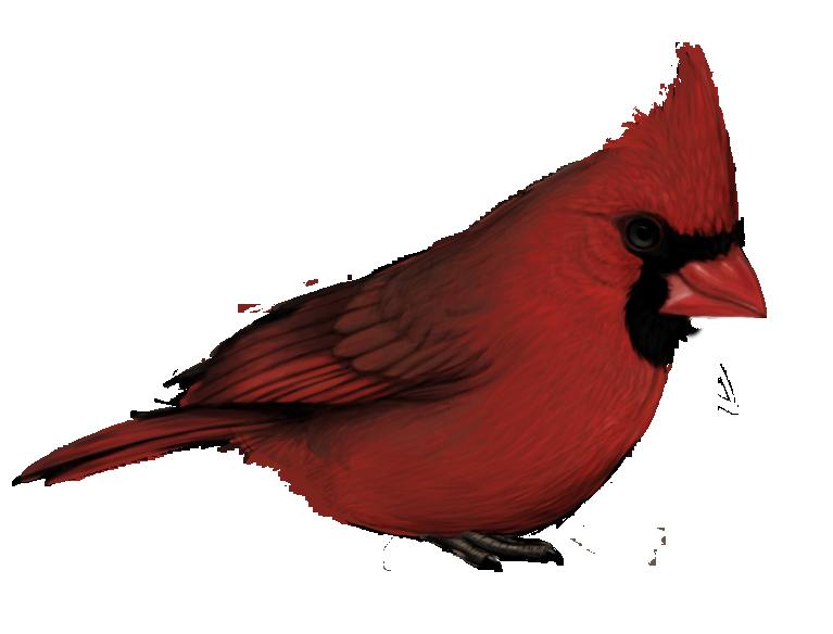 cardinal_by_robin59-d4kn4ra.png