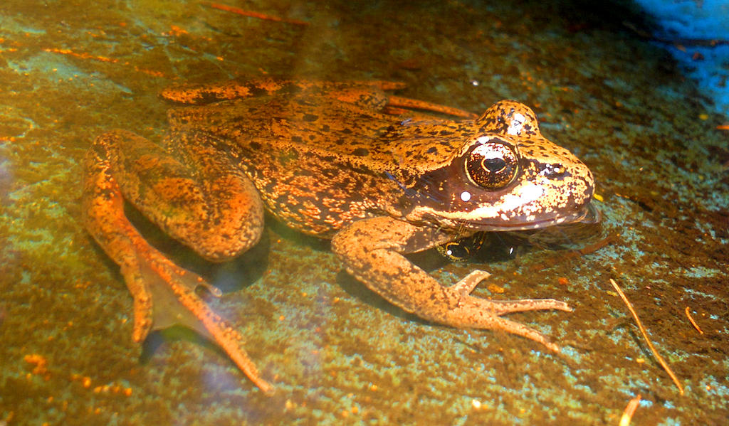 Frog by CorricothaCro