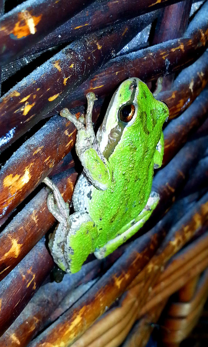 Green Frog by CorricothaCro