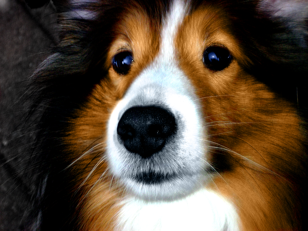 fluffy sheltie by ragzx0fxlace -#main