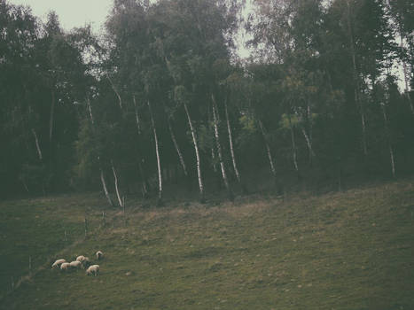 sheep and birches