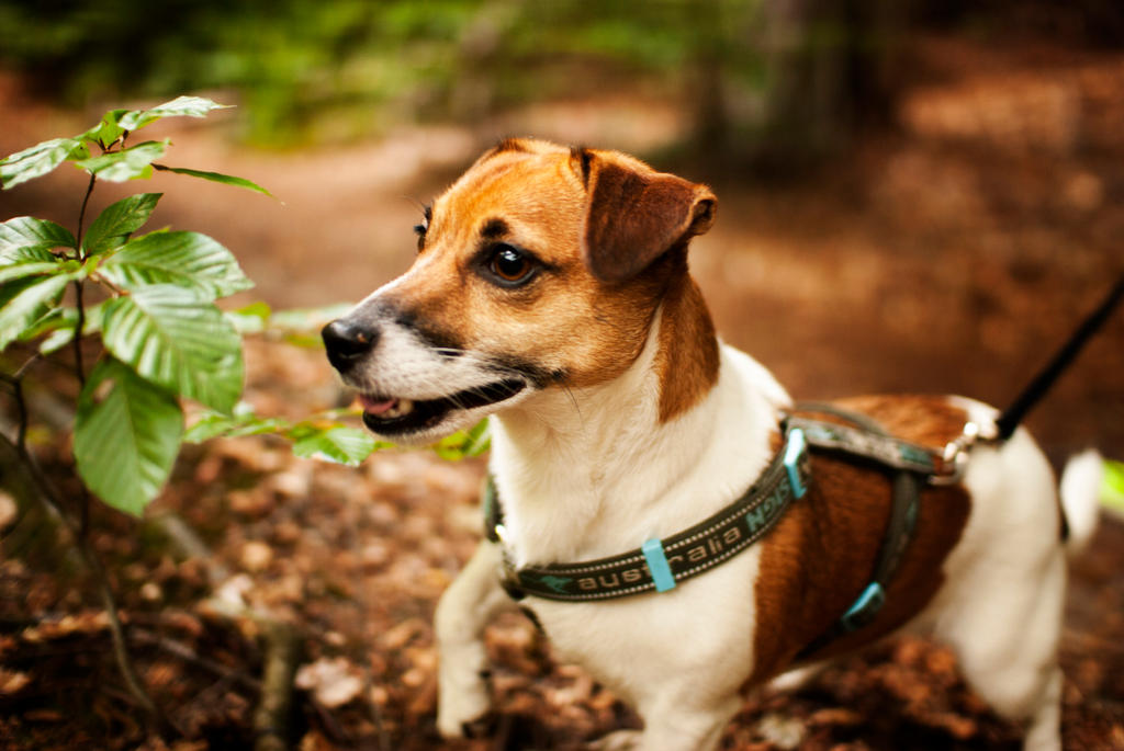 Jack Russell Terrier by cageformoments
