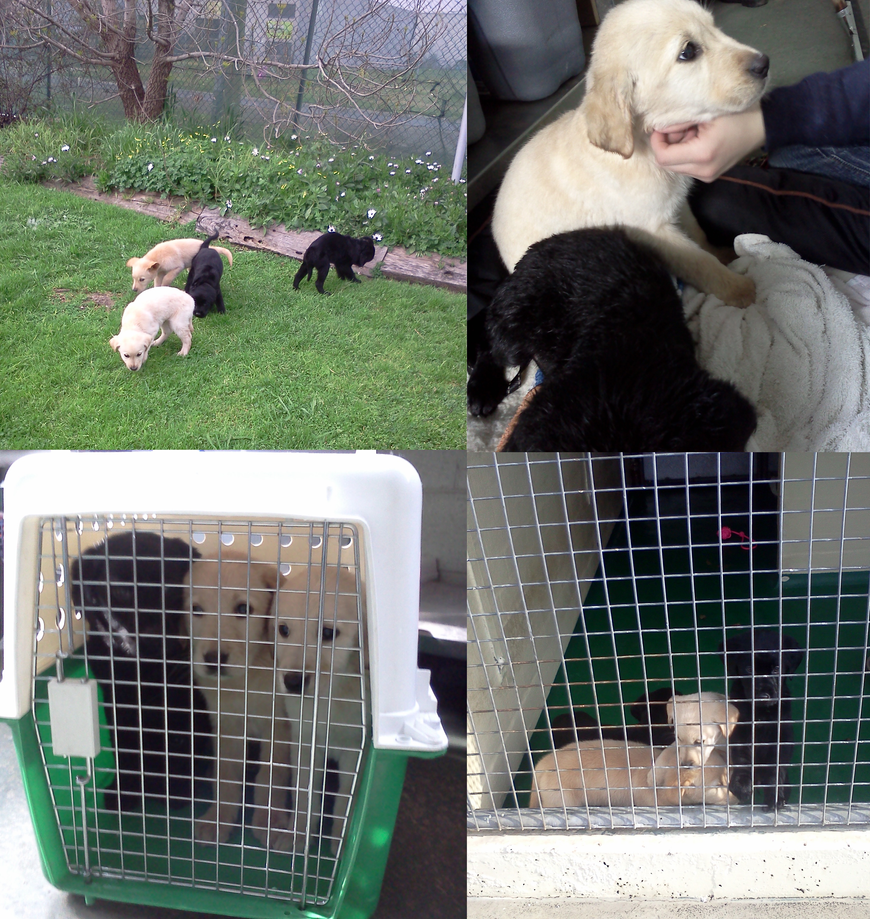 Labrador X Golden Retriever puppies at the pound by RakshaWw on