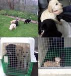 Labrador X Golden Retriever puppies at the pound