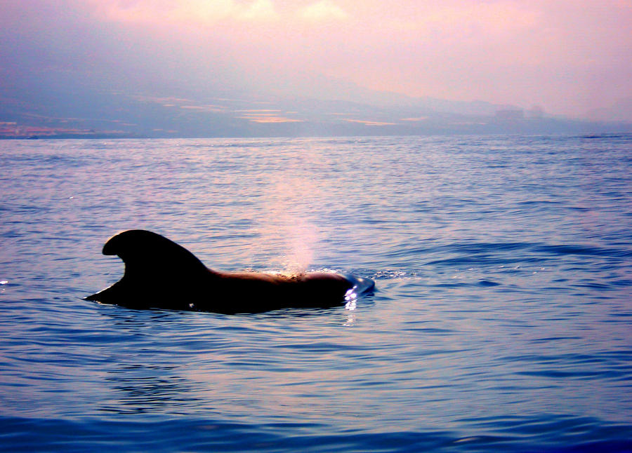 Pilot Whale by DarkSecretPlace