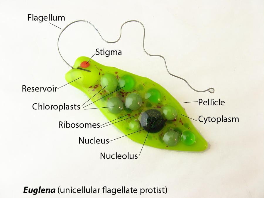 Cnidaria additionally Euglena Fig in addition Animal Cell Diagram Labeled as well Stock Photography Amoeba Diagram Easy To Edit Vector Illustration Image31976112 additionally Cells. on anatomy of an amoeba cell