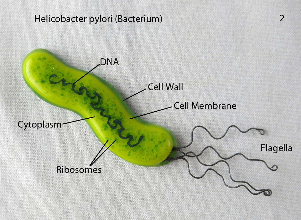 Helicobacter pylori bacterium 2 by trilobiteglassworks on deviantart - Bacterie helicobacter pylori ...