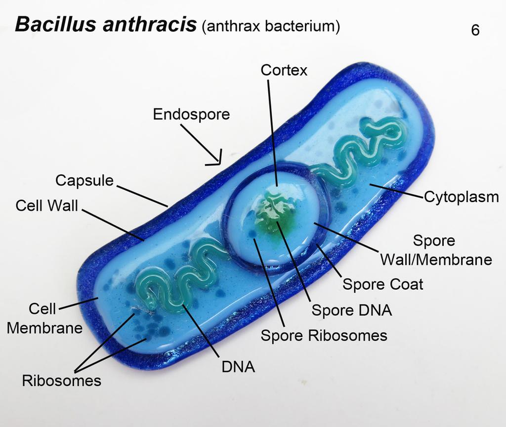 Bacillus anthracis 6 anthrax bacteria oranment by trilobiteglassworks bacillus anthracis 6 anthrax bacteria oranment by trilobiteglassworks ccuart Images