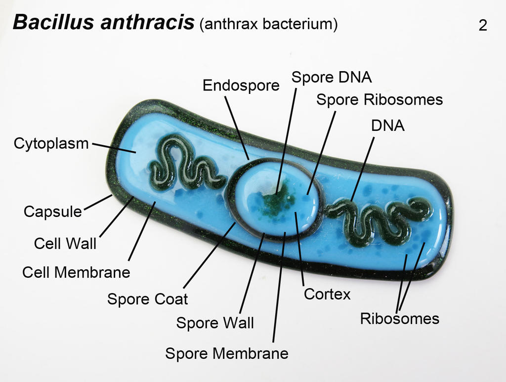 Diagram of cell bacillus auto electrical wiring diagram bacillus anthracis 2 anthrax bacteria oranment by rh deviantart com cell wall diagram bacterial cell structure ccuart Image collections