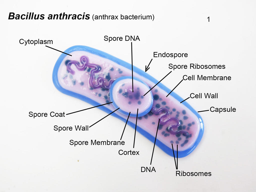 an analysis of athrax bacterium Typhoid is a bacterial infection that can be fatal if not treated quickly with antibiotics the bacterium that causes it lives in the bloodstream and intestines and is only spread by humans, via.
