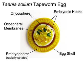 Taenia solium Tapeworm Egg Fused Glass by trilobiteglassworks