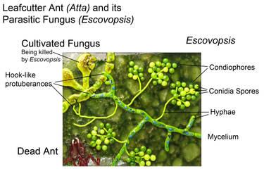 parasticit Fungus of Leafcutter Ants by trilobiteglassworks