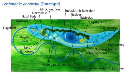 Leishmania donovani Promastigote by trilobiteglassworks