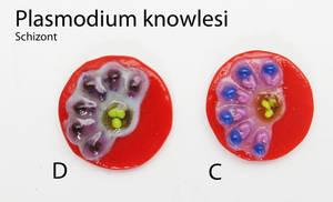 Plasmodium knowlesi Schizonts fused glass