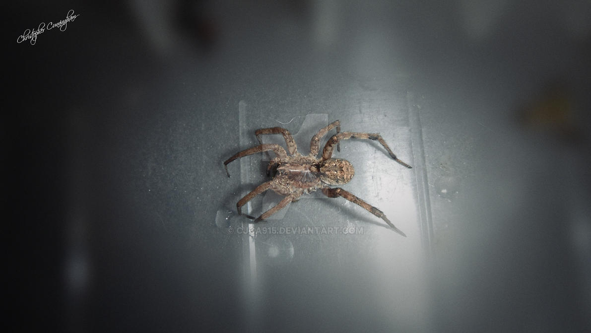 Wolf Spider (family Lycosidae) by Chris2027