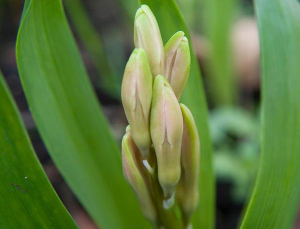 white hyacinth bud by JanineKeat