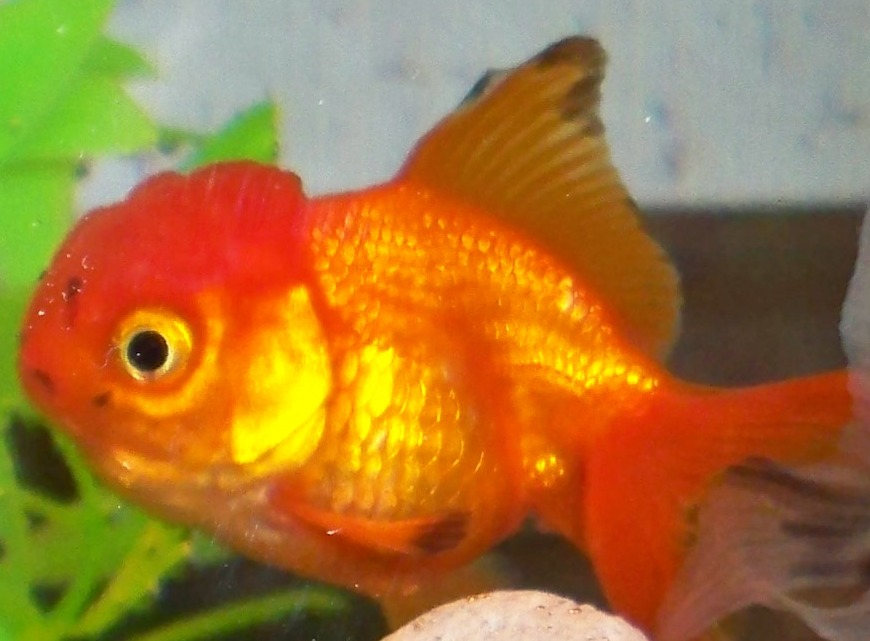 how to know if my goldfish is sick