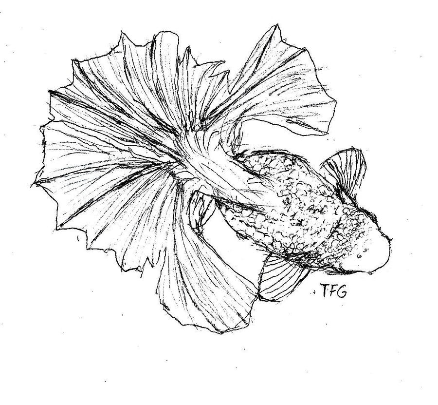 Tosakin Goldfish by TheFishGuide