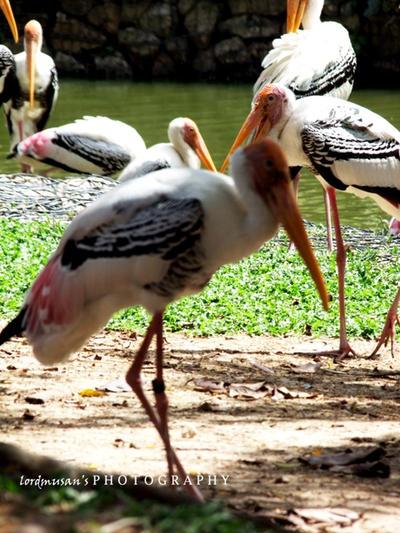 At Zoo Negara Malaysia by lordmusan