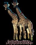 Giraffes stock