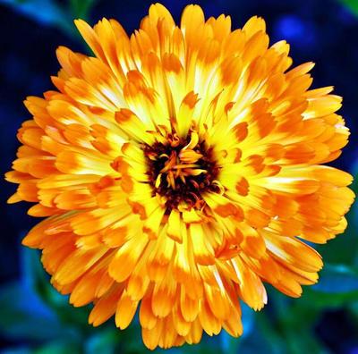 Orange Burst.  by halleys-world