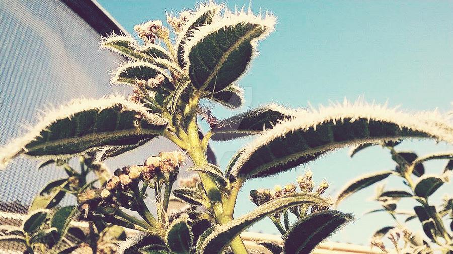 morning frost 35 by ARAart