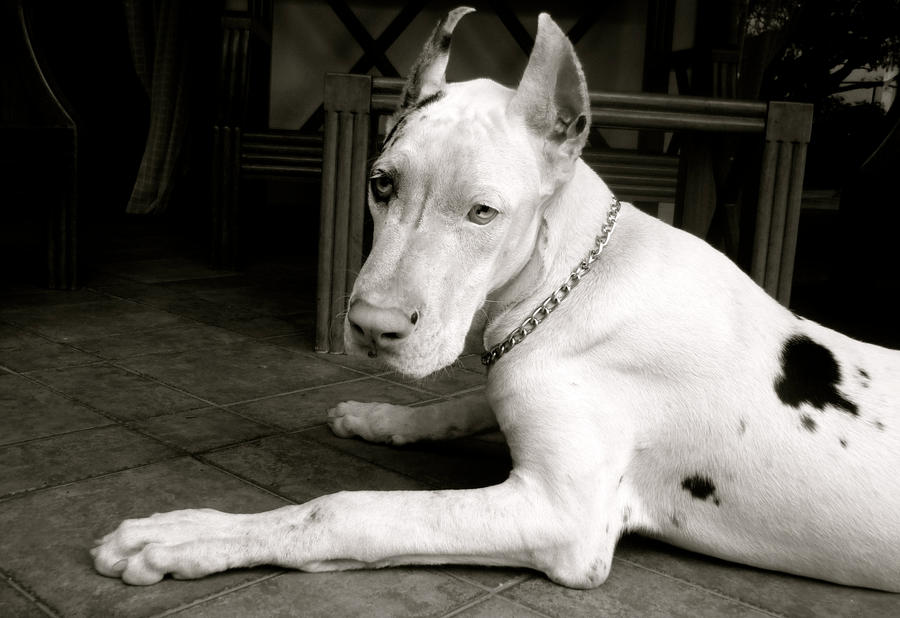 Tango the great dane by ParaguayDraw