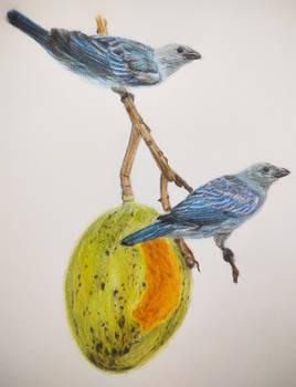 Blue-gray Tanager (Tangara episcopus) and mango