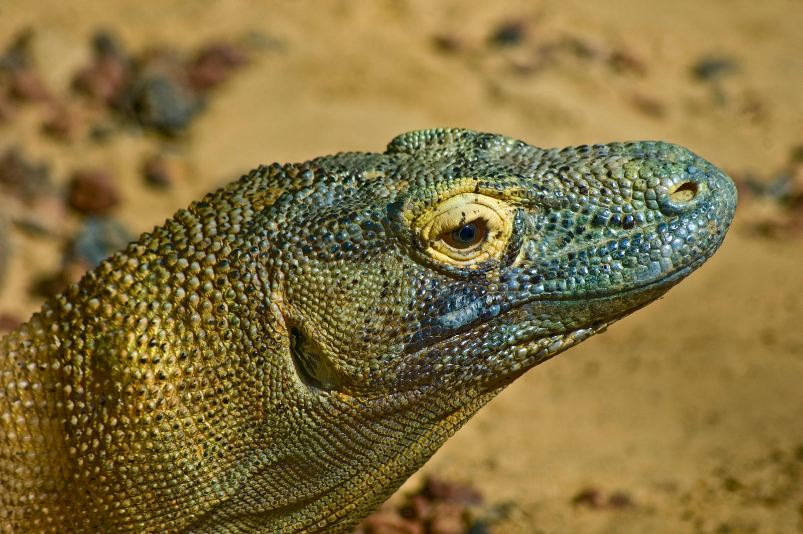 Komodo Dragon Close-up Face by AquaVixie