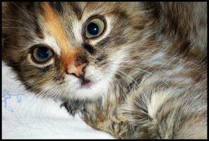 kitten by Anchyska